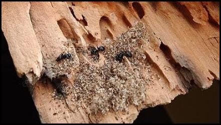 traitement du bois contre les fourmis charpenti re valais vaud suisse. Black Bedroom Furniture Sets. Home Design Ideas
